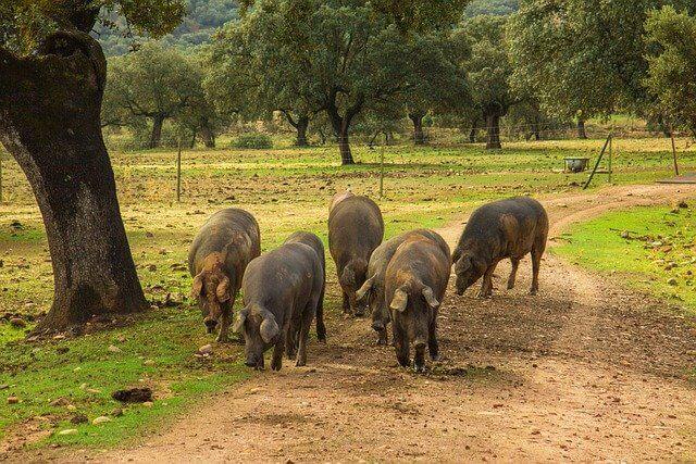 carne de cerdo iberico ecologico