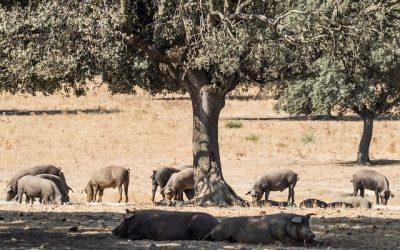 Características y beneficios del cerdo ibérico ecológico