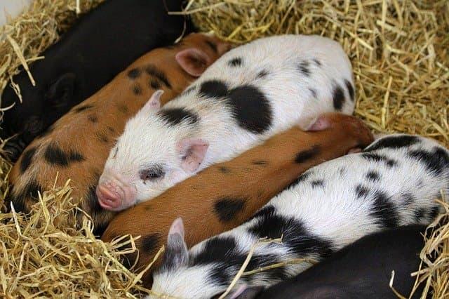 razas de cerdo ibérico